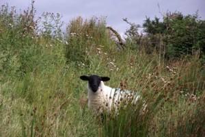 connemara-lamb