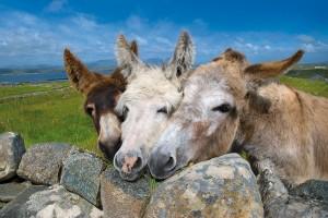 donkeys mannin bay