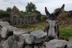 donkey-burren