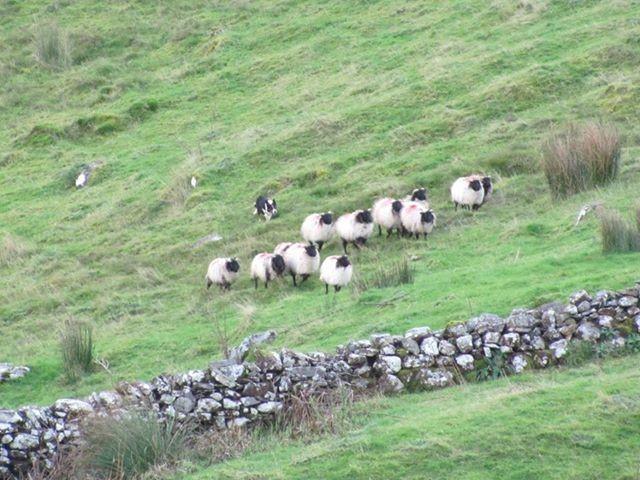 killary-sheep-farm